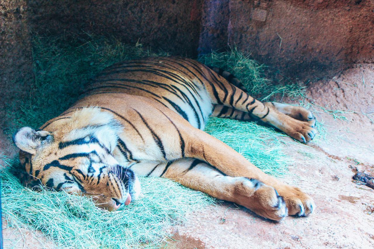 tiger_sandiego-zoo
