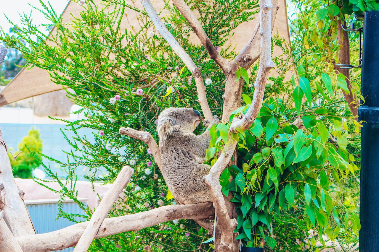koala_sandiego-zoo